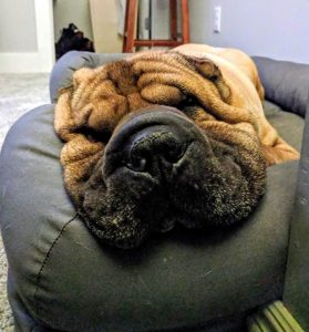 wrinkly dog sleeping